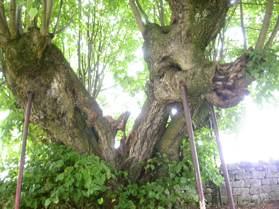"""""""Repaired"""" linden tree, still going strong"""